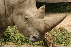 Profilo bianco di rinoceronte Fotografie Stock