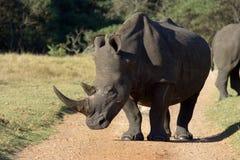 Profilo bianco di rinoceronte Fotografia Stock