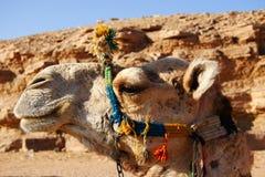 Profilo capo del cammello, Egitto fotografie stock libere da diritti