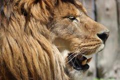 Profilo capo del leone Fotografie Stock