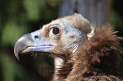 Profilo Cinereous dell'avvoltoio Fotografie Stock