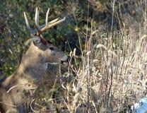 Profilo dei cervi di Whitetail con i corni Immagine Stock