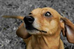 Profilo del cagnolino Fotografie Stock