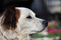 Profilo del cane Fotografia Stock Libera da Diritti