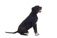 Profilo del cane del grande danese Immagini Stock