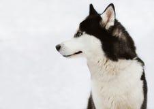 Profilo del cane del husky nell'inverno Fotografie Stock