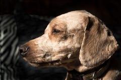 Profilo del cane di Brown Immagini Stock