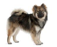 Profilo del cane di Eurasier, levantesi in piedi immagine stock libera da diritti