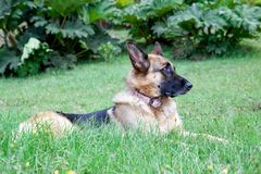 Profilo del cane di Shepard del tedesco Fotografia Stock