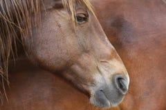 Profilo del cavallo Immagine Stock
