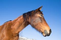Profilo del cavallo selvaggio Fotografia Stock