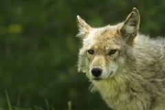 Profilo del coyote in primavera Fotografia Stock