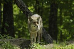 Profilo del coyote in primavera Fotografie Stock Libere da Diritti