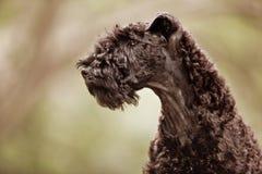 Profilo del cucciolo del terrier di azzurro di Kerry Immagini Stock Libere da Diritti