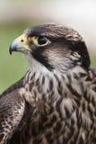 Profilo del falco Immagini Stock
