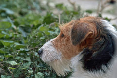 Profilo del fox terrier triste Immagine Stock