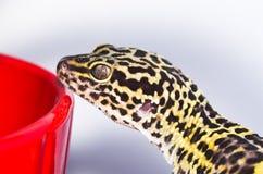 Profilo del geco del leopardo Fotografia Stock