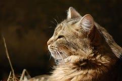 Profilo del grande gatto Fotografie Stock Libere da Diritti