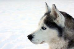 Profilo del husky Fotografia Stock