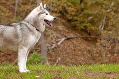 Profilo del husky Immagini Stock