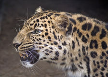 Profilo del leopardo Fotografia Stock