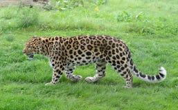 Profilo del leopardo Immagine Stock