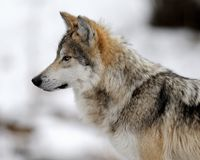 Profilo del lupo Fotografie Stock