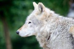 Profilo del lupo fotografia stock