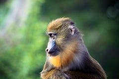 Profilo del mandrillo Immagine Stock