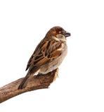 Profilo del passero Fotografia Stock