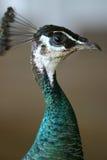 Profilo del pavone Fotografia Stock
