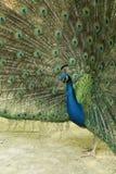 Profilo del pavone fotografie stock libere da diritti