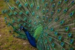 Profilo del pavone fotografia stock libera da diritti