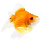 Profilo del pesce rosso di Pearlscale Fotografie Stock Libere da Diritti