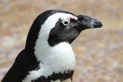 Profilo del pinguino Fotografia Stock Libera da Diritti