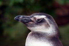 Profilo del pinguino fotografia stock