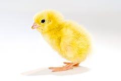 Profilo del pollo Immagine Stock