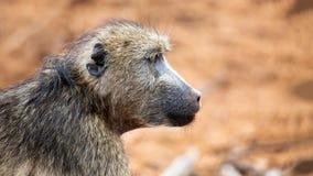 Profilo del primo piano del babbuino di Chacma Fotografia Stock
