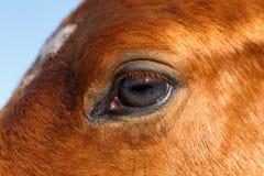 Profilo del primo piano del cavallo dell'occhio Immagine Stock