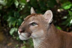 Profilo del puma Immagine Stock