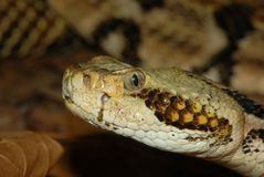 Profilo del Rattlesnake Fotografia Stock