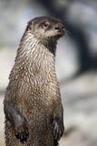 Profilo del ritratto di una lontra di fiume Fotografie Stock
