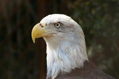 Profilo dell'aquila calva Fotografie Stock