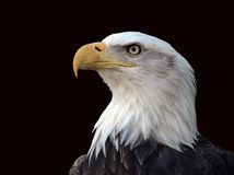 Profilo dell'aquila calva Immagine Stock Libera da Diritti