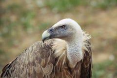 Profilo dell'avvoltoio Fotografie Stock