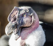 Profilo dell'avvoltoio Fotografia Stock