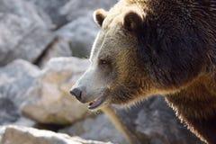 Profilo dell'orso grigio Fotografia Stock