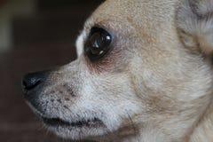 Profilo della chihuahua Fotografia Stock