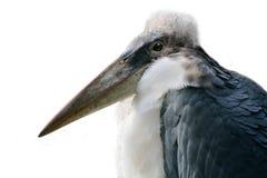 Profilo della cicogna di marabù, priorità bassa bianca Fotografie Stock Libere da Diritti