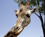 Profilo della giraffa che osserva giù Fotografia Stock